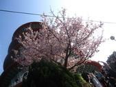 99---櫻花林:IMG_5326_調整大小
