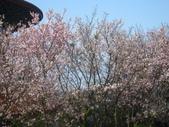99---櫻花林:IMG_5293_調整大小