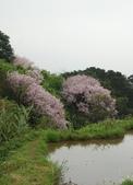 100之櫻花:DSC_0257.JPG