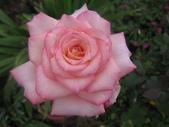 99---玫瑰:IMG_5568新麗娜 (2)_調整大小
