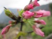 100之櫻花:IMG_5585.JPG