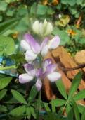 菜花園:調整大小103_1623.JPG
