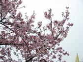 99---櫻花林:調整大小DSC_0940