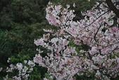 100之櫻花:DSC_0194.JPG