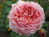 99---玫瑰:IMG_5495亞伯拉罕達比_調整大小