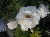 99---玫瑰:IMG_5346比比亞_調整大小