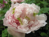 花博--春之花頌:IMG_7255_調整大小.JPG