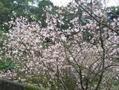 99---櫻花林:IMG_4097_調整大小
