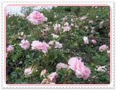 2011玫瑰:IMG_0784_調整大小.JPG