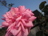 99---玫瑰:IMG_4578François Juranville_調整大小