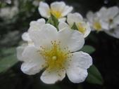 99---玫瑰:IMG_6084.JPG
