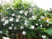 99---玫瑰:IMG_6219.JPG