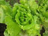 99-----菜花園:IMG_4617_調整大小