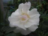 99---玫瑰:IMG_5906_調整大小