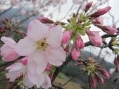 100之櫻花:IMG_5572.JPG