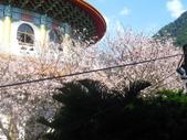99---櫻花林:IMG_5299_調整大小