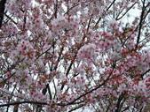 99---櫻花林:調整大小DSC_0896