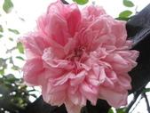 99---玫瑰:IMG_7568_調整大小