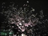 99---櫻花林:IMG_5088.JPG
