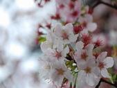 99---櫻花林:調整大小DSC_0933