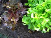 99-----菜花園:IMG_2756_調整大小