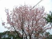 99---櫻花林:調整大小DSC_0922