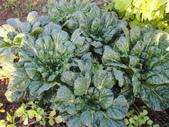 99-----菜花園:IMG_2762_調整大小