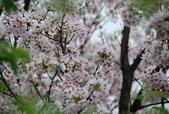 100之櫻花:DSC_0151.JPG