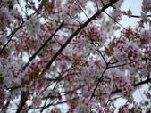 99---櫻花林:調整大小DSC_0928