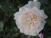 99---玫瑰:IMG_6095_調整大小