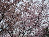 99---櫻花林:調整大小DSC_0938