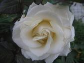 99---玫瑰:IMG_5900_調整大小