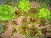 99-----菜花園:IMG_3671_調整大小