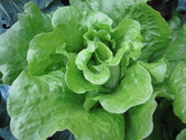 99-----菜花園:IMG_3658_調整大小