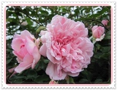 2011玫瑰:IMG_0802_調整大小.JPG