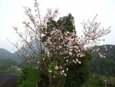 99---櫻花林:IMG_4744_調整大小