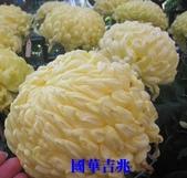 99士林官邸菊花展:IMG_1200國華吉兆.JPG