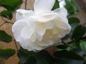 花球&草花:調整大小100_2778.JPG