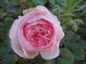 99---玫瑰:IMG_5352ann--_調整大小