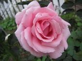 2011玫瑰:IMG_5140_調整大小.JPG