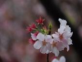 99---櫻花林:調整大小DSC_0901