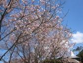99---櫻花林:IMG_5290_調整大小