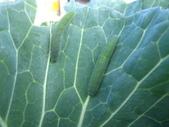 99-----菜花園:IMG_3155_調整大小