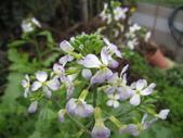 99-----菜花園:IMG_3872_調整大小