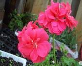 菜花園:調整大小102_9632.JPG