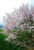 100之櫻花:DSC_0113.JPG