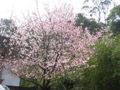 99---櫻花林:IMG_4864_調整大小