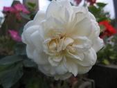 99---玫瑰:IMG_6079_調整大小