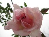 99---玫瑰:IMG_7566_調整大小