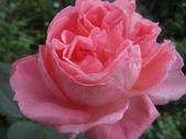 99---玫瑰:IMG_5875_調整大小